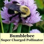 "bumblebee on chive blossom with text overlay ""Bumblebee - super charger pollinator"""