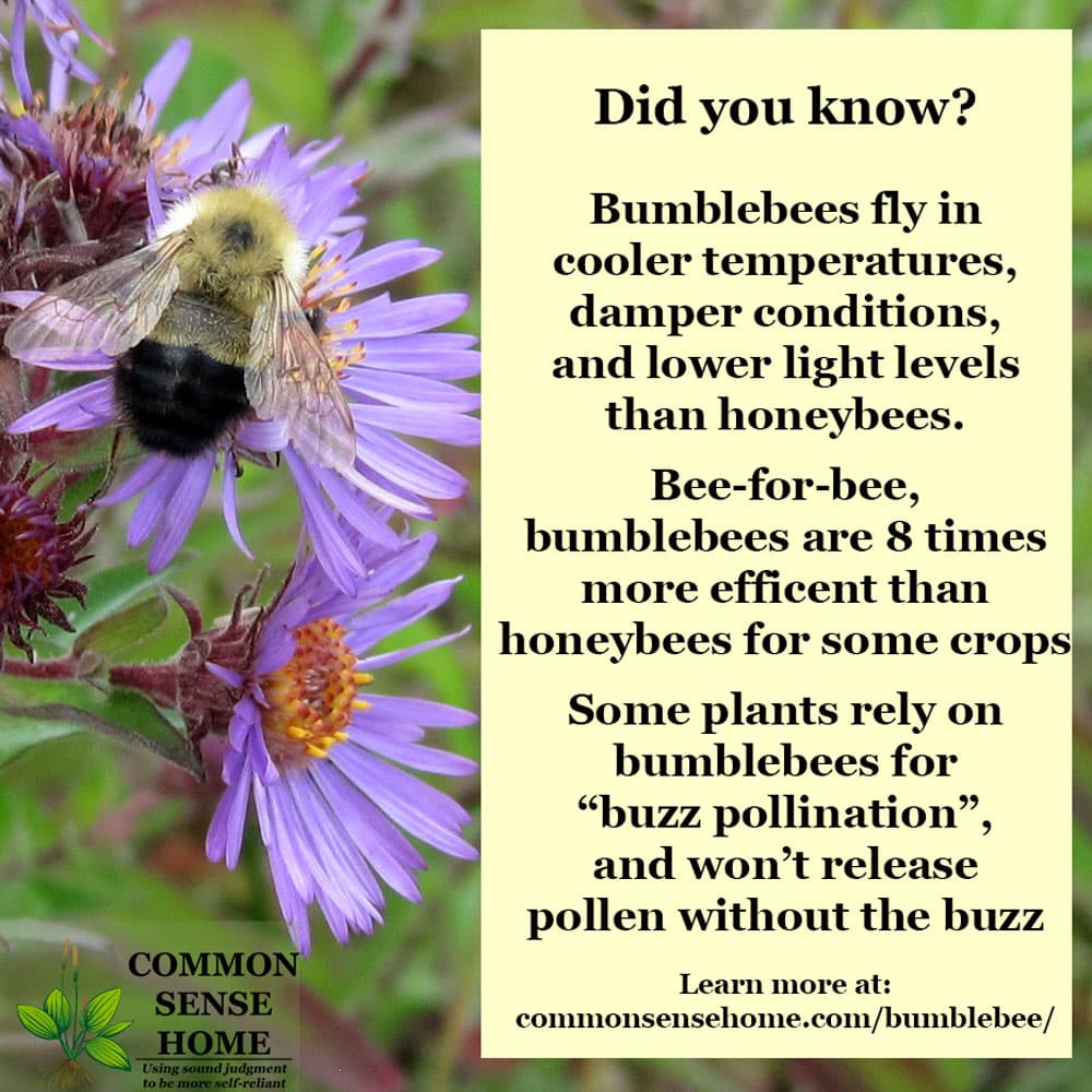 bumblebee on aster with text overlay of why bumblebees are important