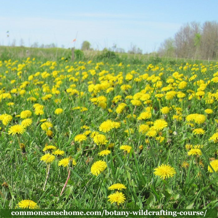 field full of dandelions