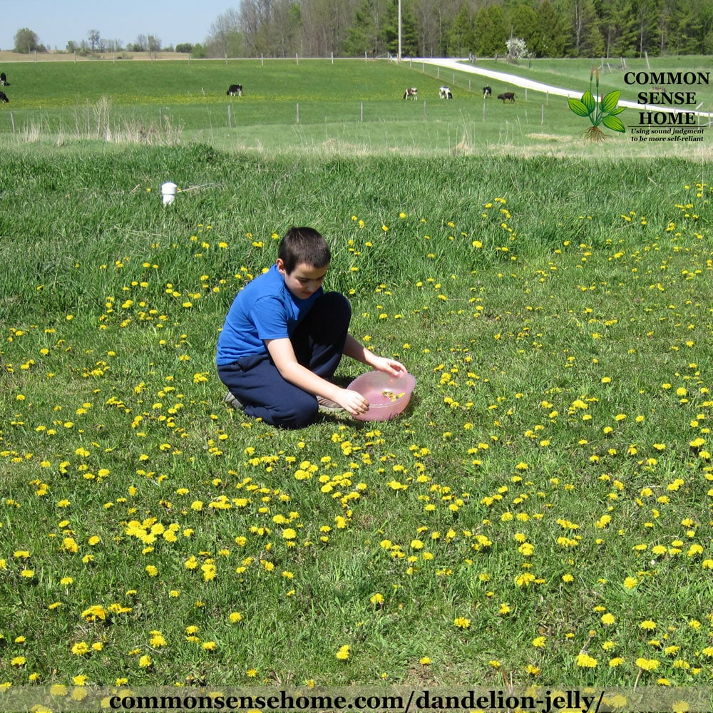 boy picking dandelion flowers for jelly