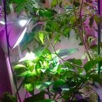 indoor garden with peppers and tomatoes
