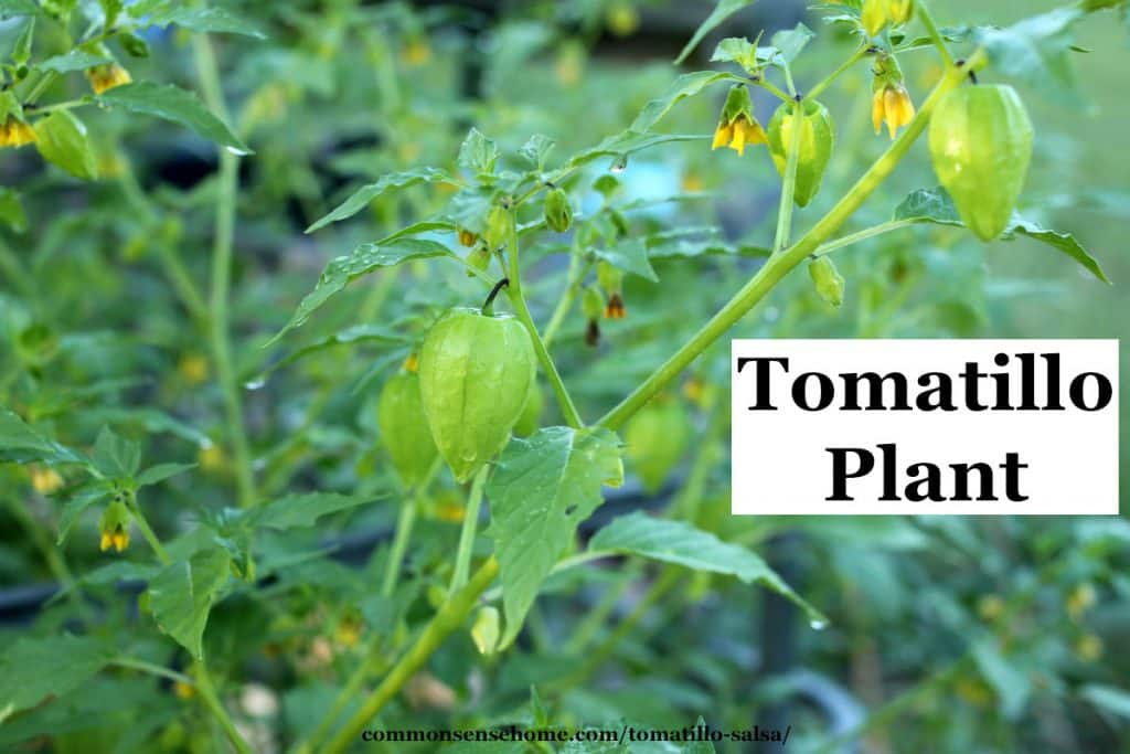 tomatillo plant for salsa verde