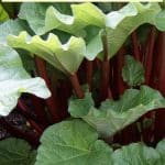 growing rhubarb plants