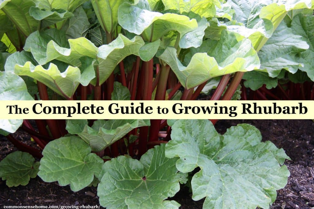 The Complete Guide to Growing Rhubarb