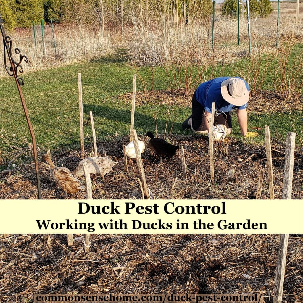 ducks looking for pests in garden bed