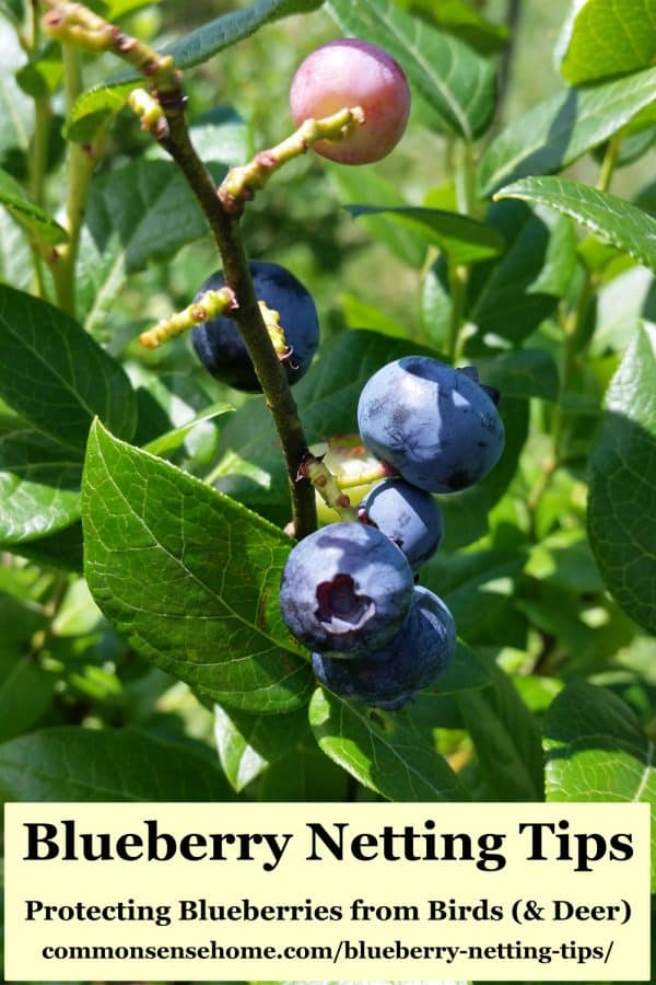 ripening blueberries on bush