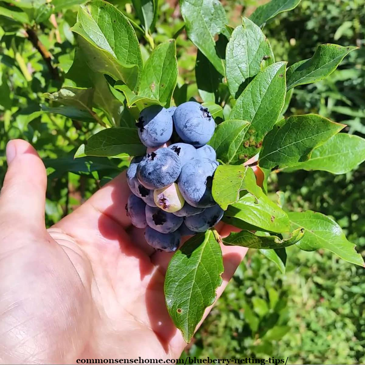 handful of blueberries on plant