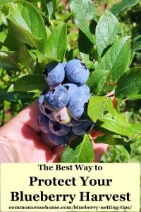 protect your blueberry harvest