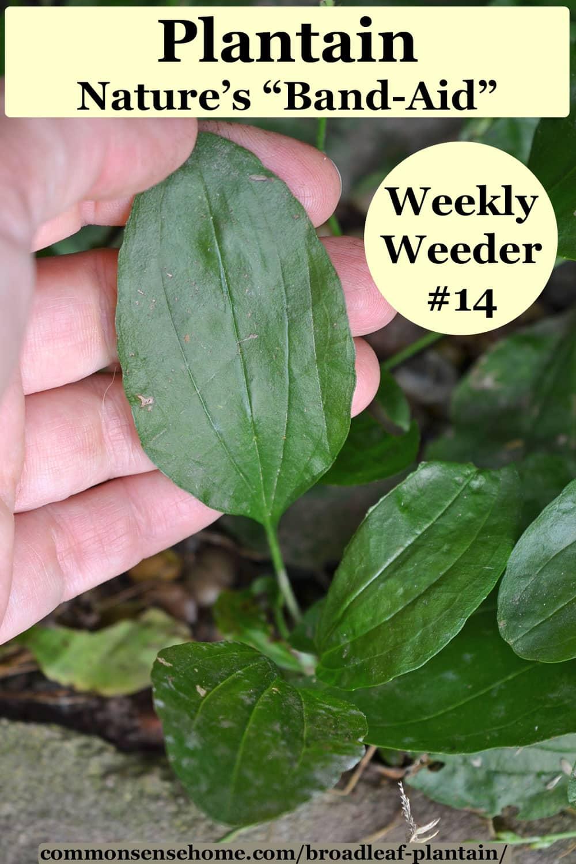 plantain weed leaf
