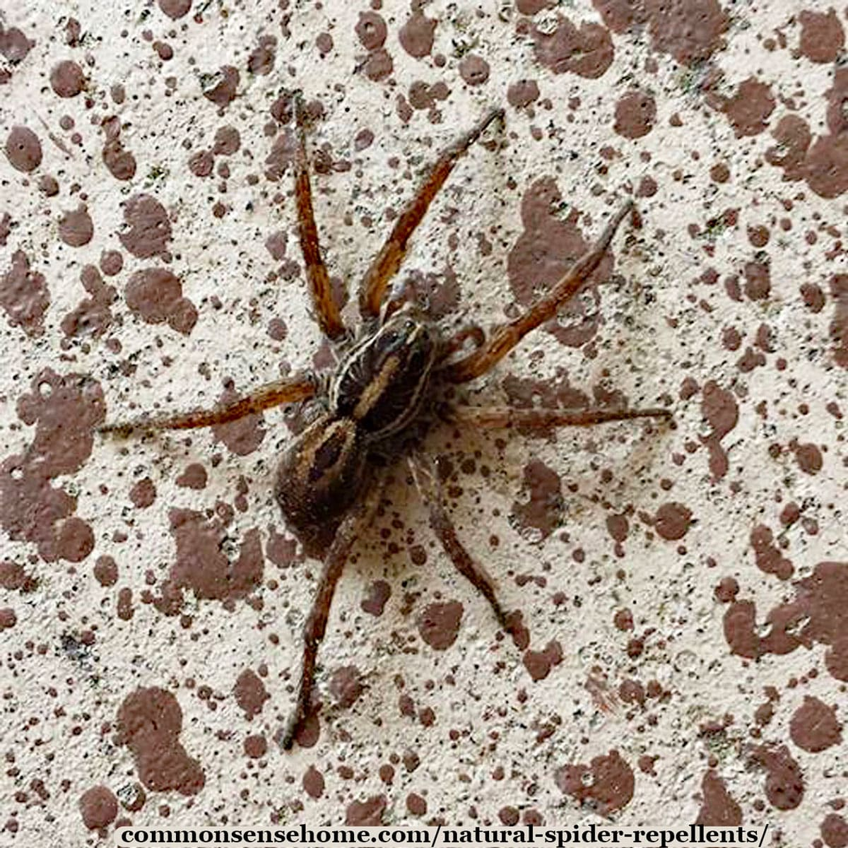 Natural Spider Repellents - 8 Ways to