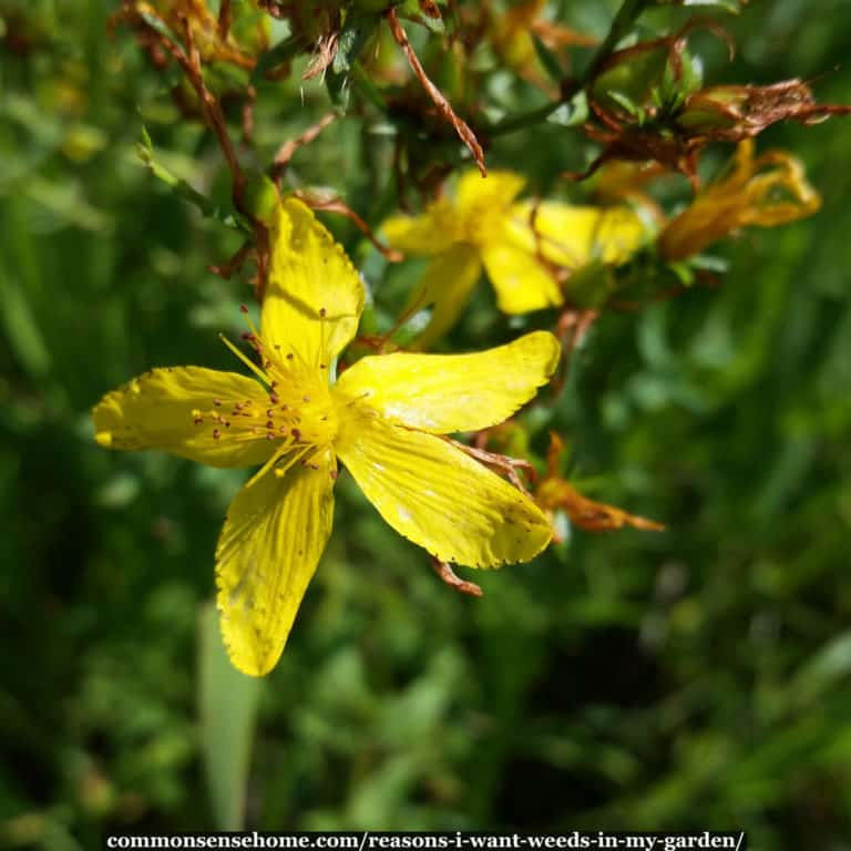 Put Your Weeds to Work – 5 Reasons I Want Weeds in My Garden