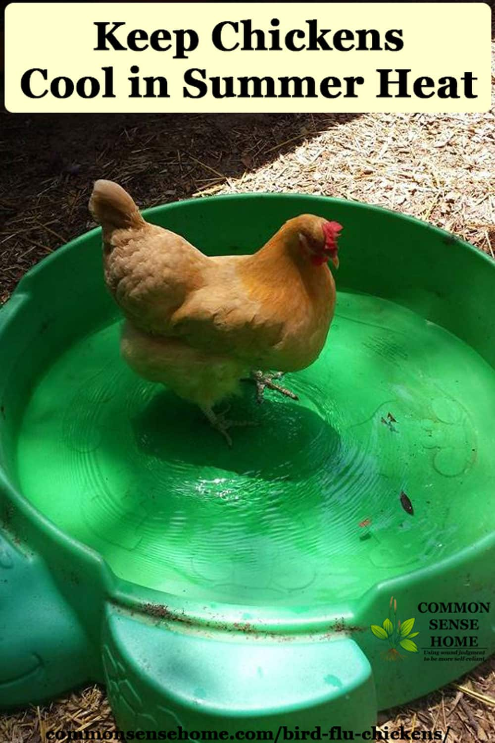 chicken in swimming pool
