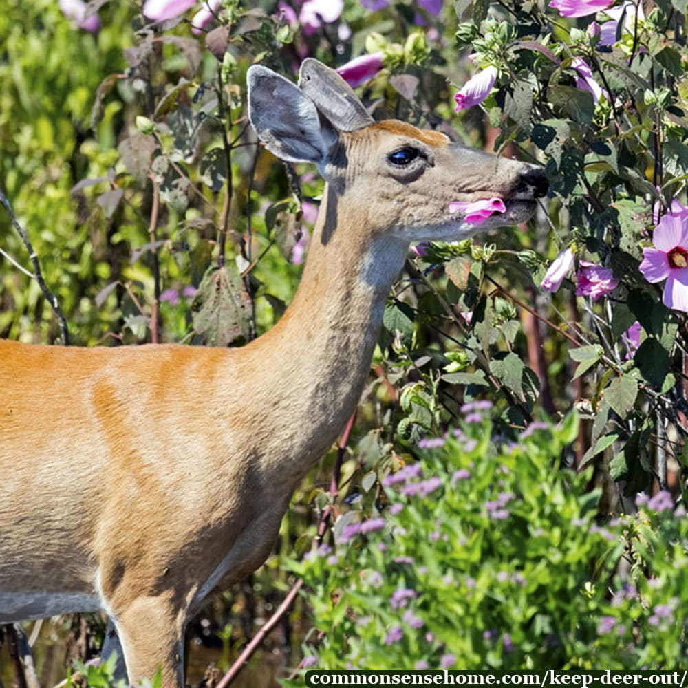 whitetail deer eating flowers