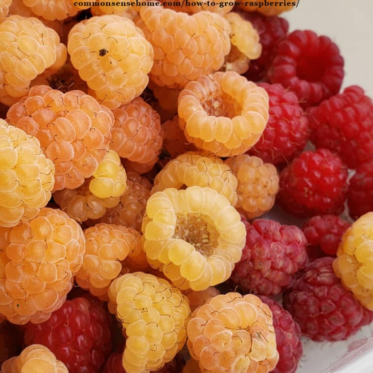 How to Grow Raspberries – Planting, Care and Harvest