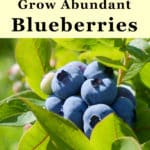 grow blueberries