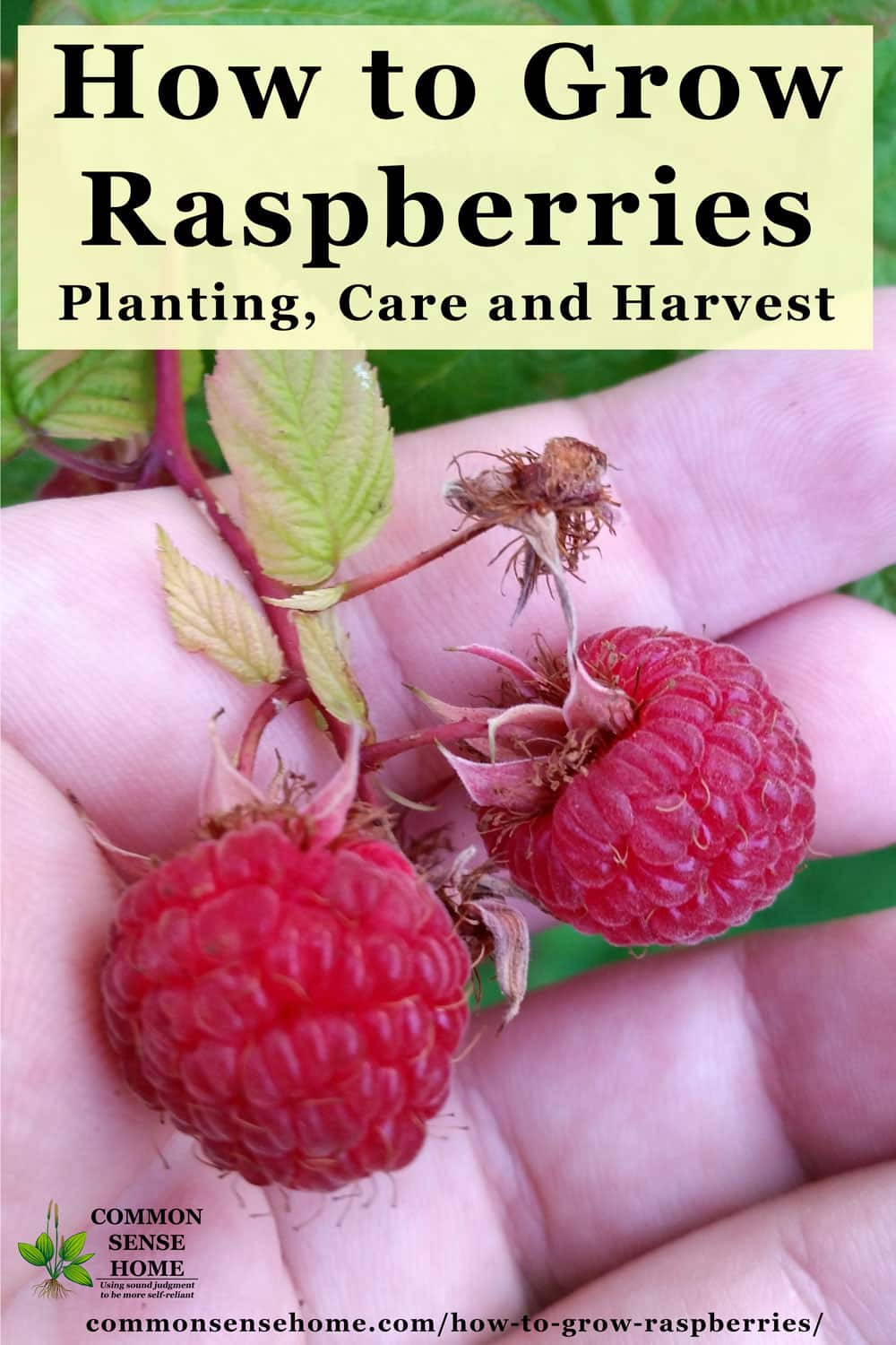 "Text ""How to Grow Raspberries - Planting, Care and Harvest"" with hand holding two red raspberries"