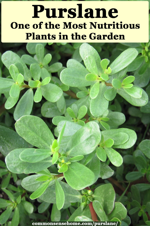 25+ Wild Purslane seeds very delicious! Portulaca Oleracea Highly nutritious