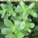 close up of purslane plant