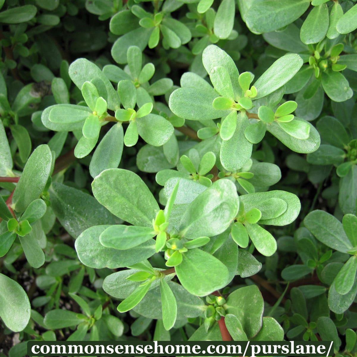 purslane-plant---Portulaca-oleracea