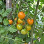 wooden stake tomato trellis