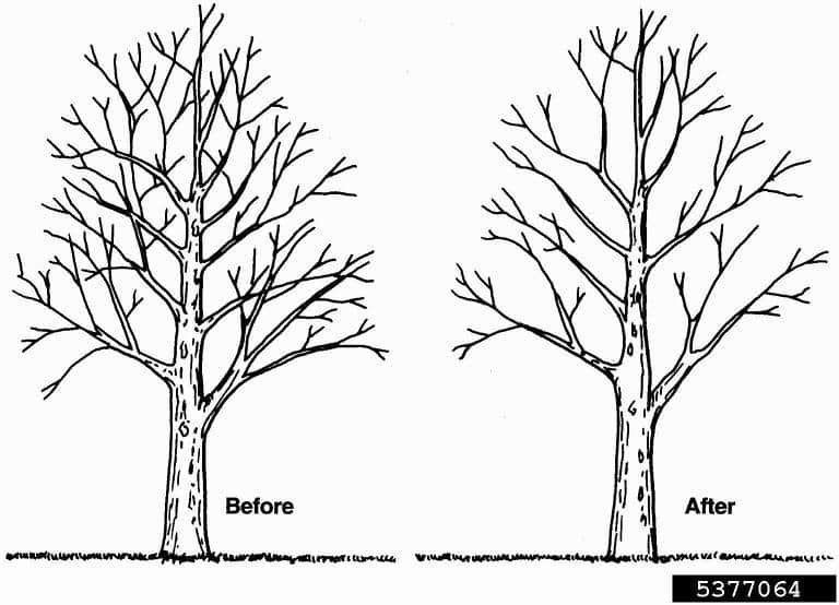 tree pruning for thinning the canopy