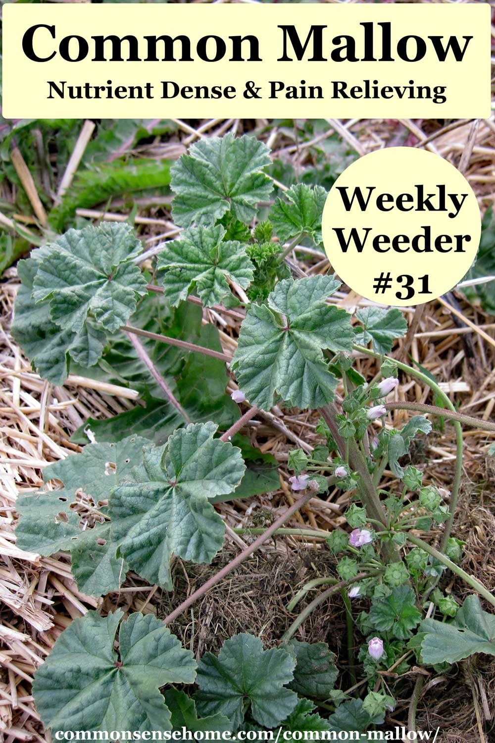 Common mallow - Weekly Weeder #31