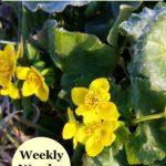 Marsh Marigold (Caltha palustris) plant with flowers