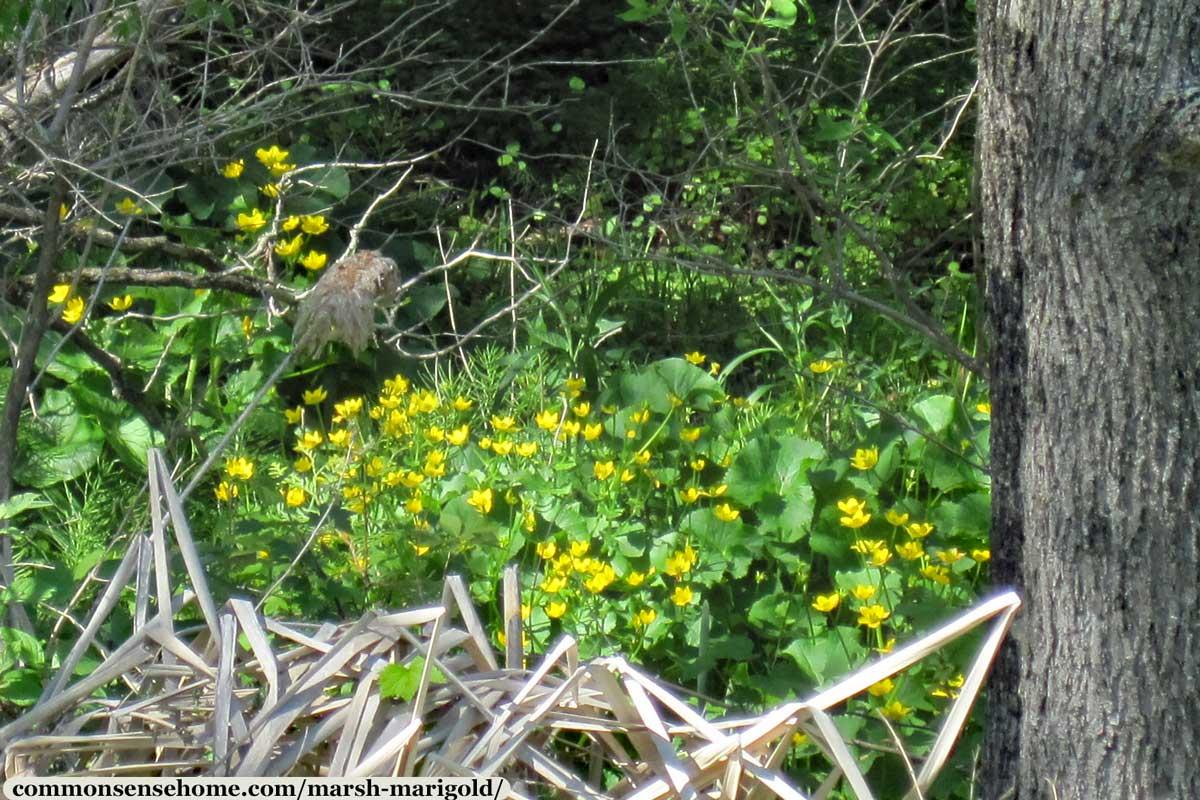 Marsh Marigold plants at the edge of marshy woods