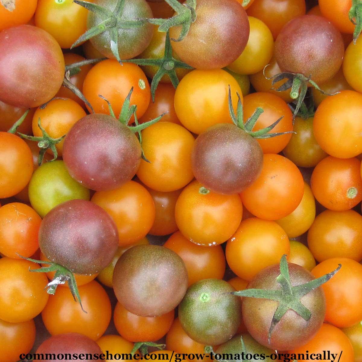 organic cherry tomatoes - sungold and black cherry
