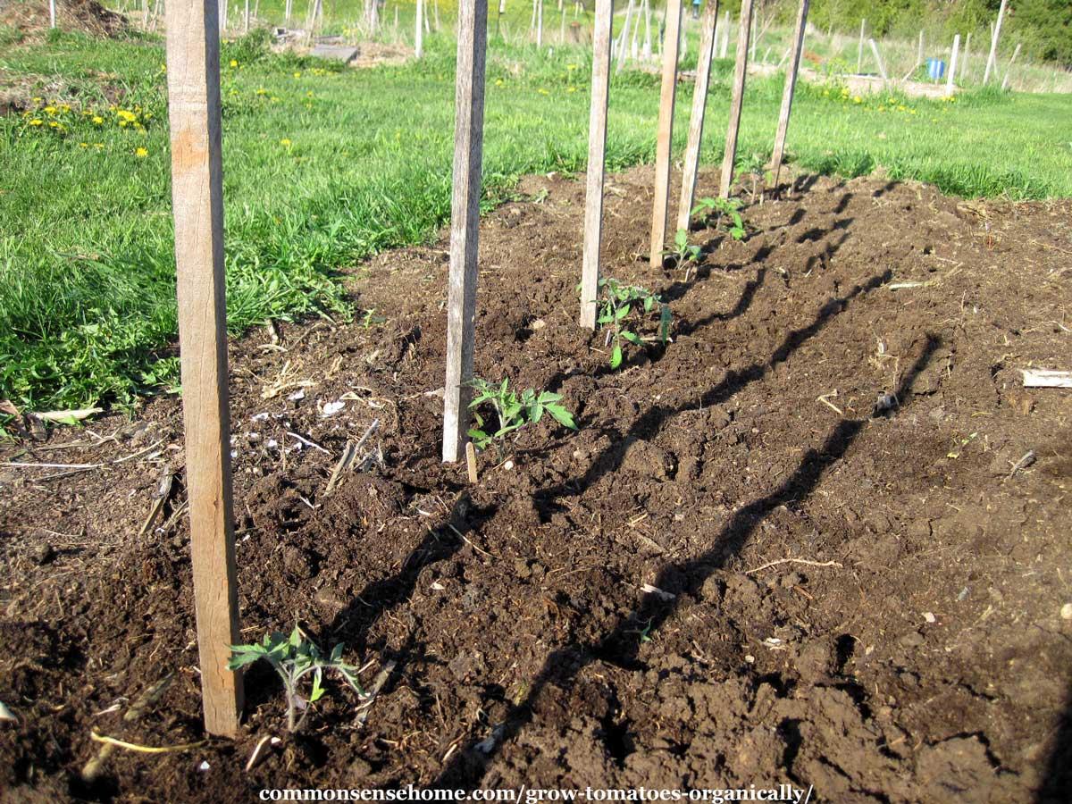 tomato plants with garden stakes