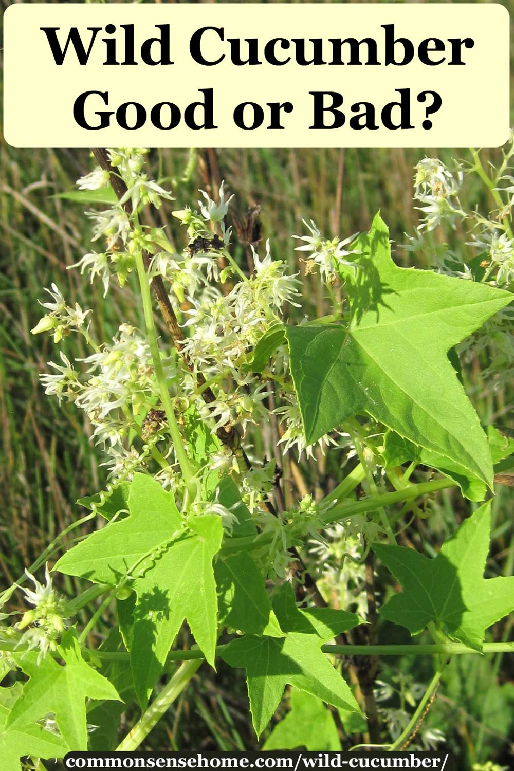 Wild cucumber vine, leaves and flowers