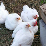 Cornish cross chickens for meat