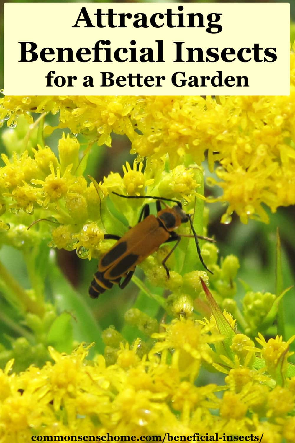 beneficial insect - soldier beetle