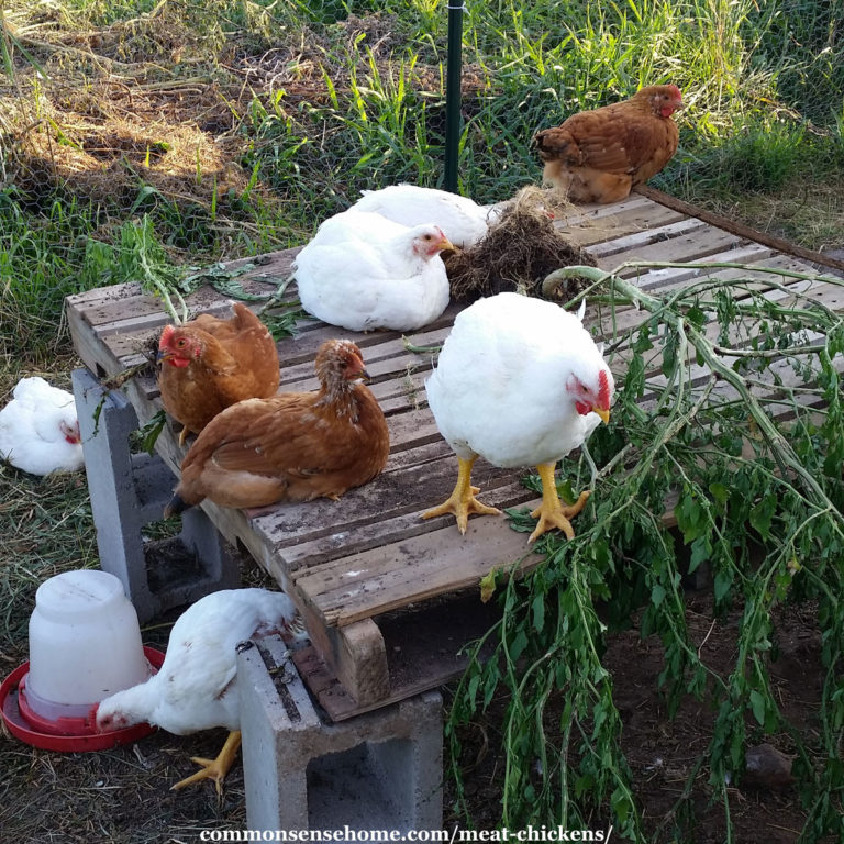 Meat Chickens – Best Breeds, Care and Troubleshooting Tips