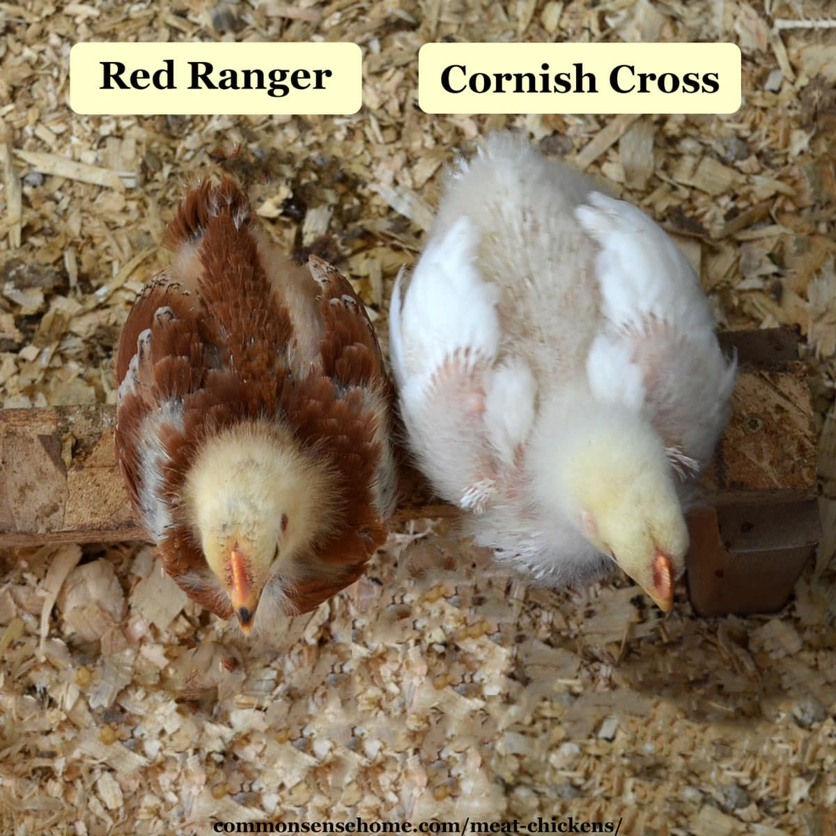 comparison of red ranger and cornish cross chicks