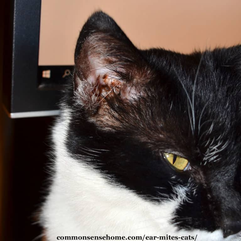 Ear Mites in Cats – Easy Treatment, Plus Common Questions