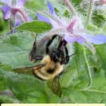 """text """"12 host plants for beneficial insects"""" with bumble bee on borage"""