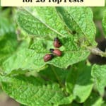 "Text ""Natural and Organic Pest Control for 20 Top Pests"" with potato beetle larvae on potato plant"