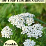 Yarrow plants with white flowers