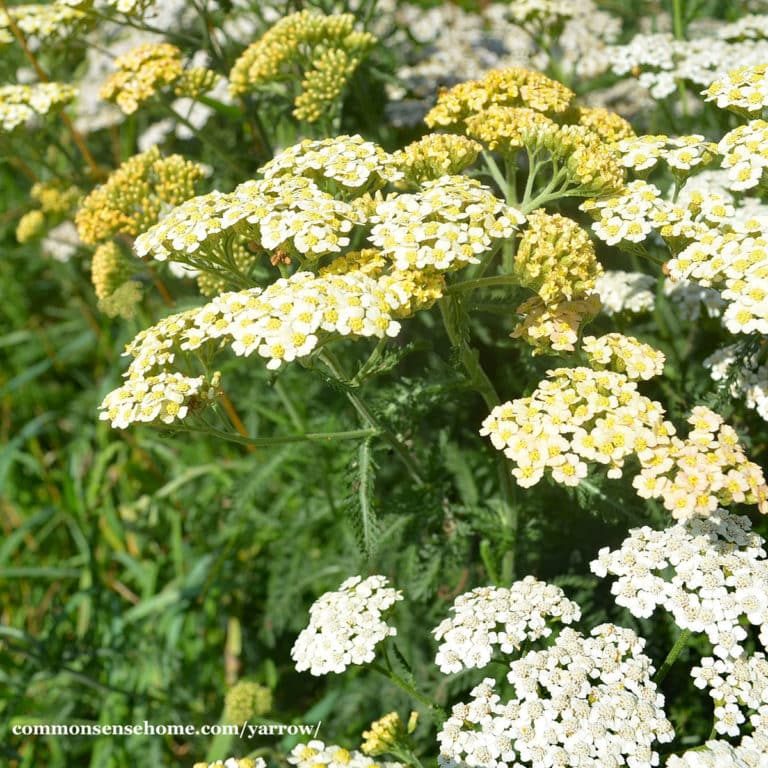 """Yarrow – The """"Plant Doctor"""" for Your Yard and Garden"""