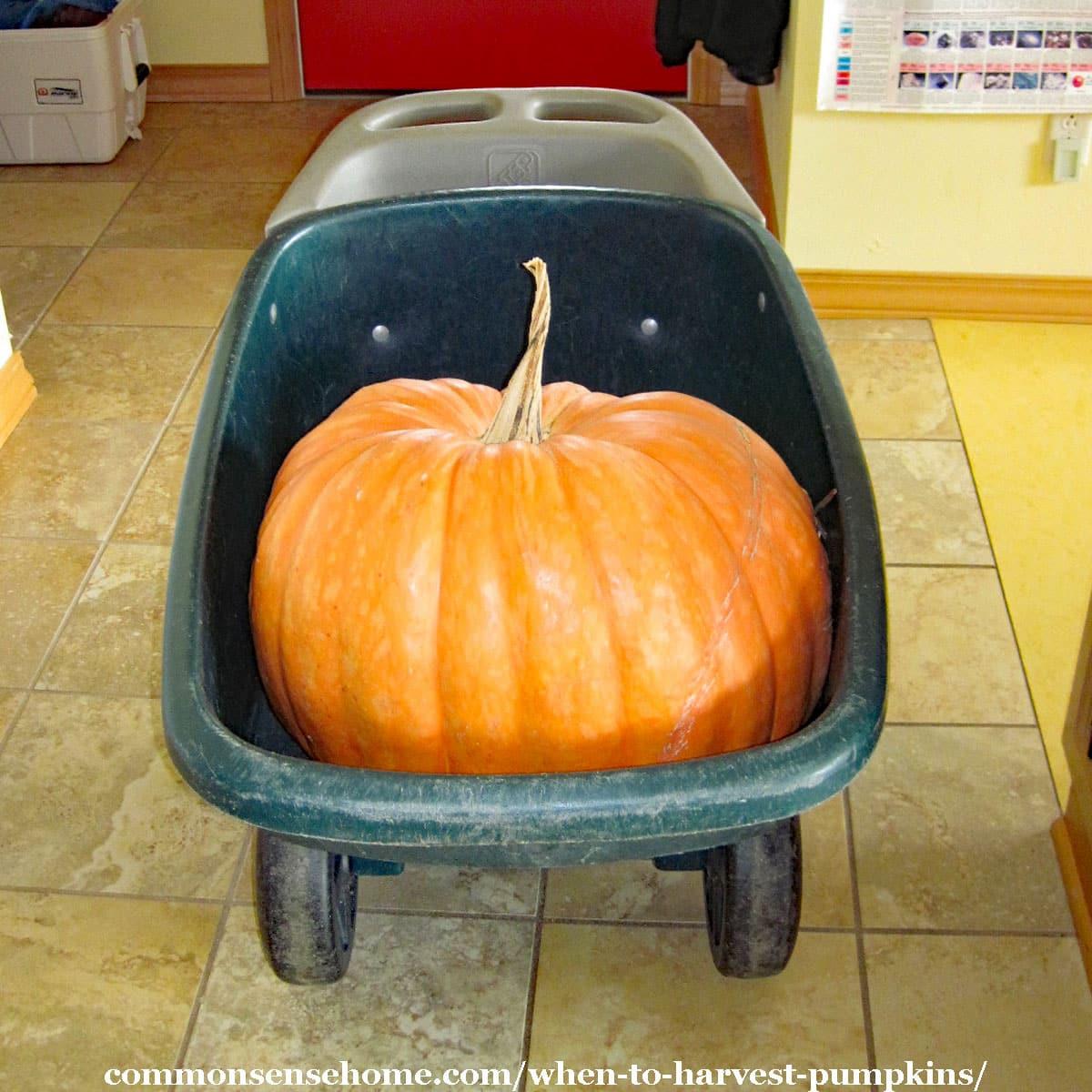 large pumpkin in yard cart