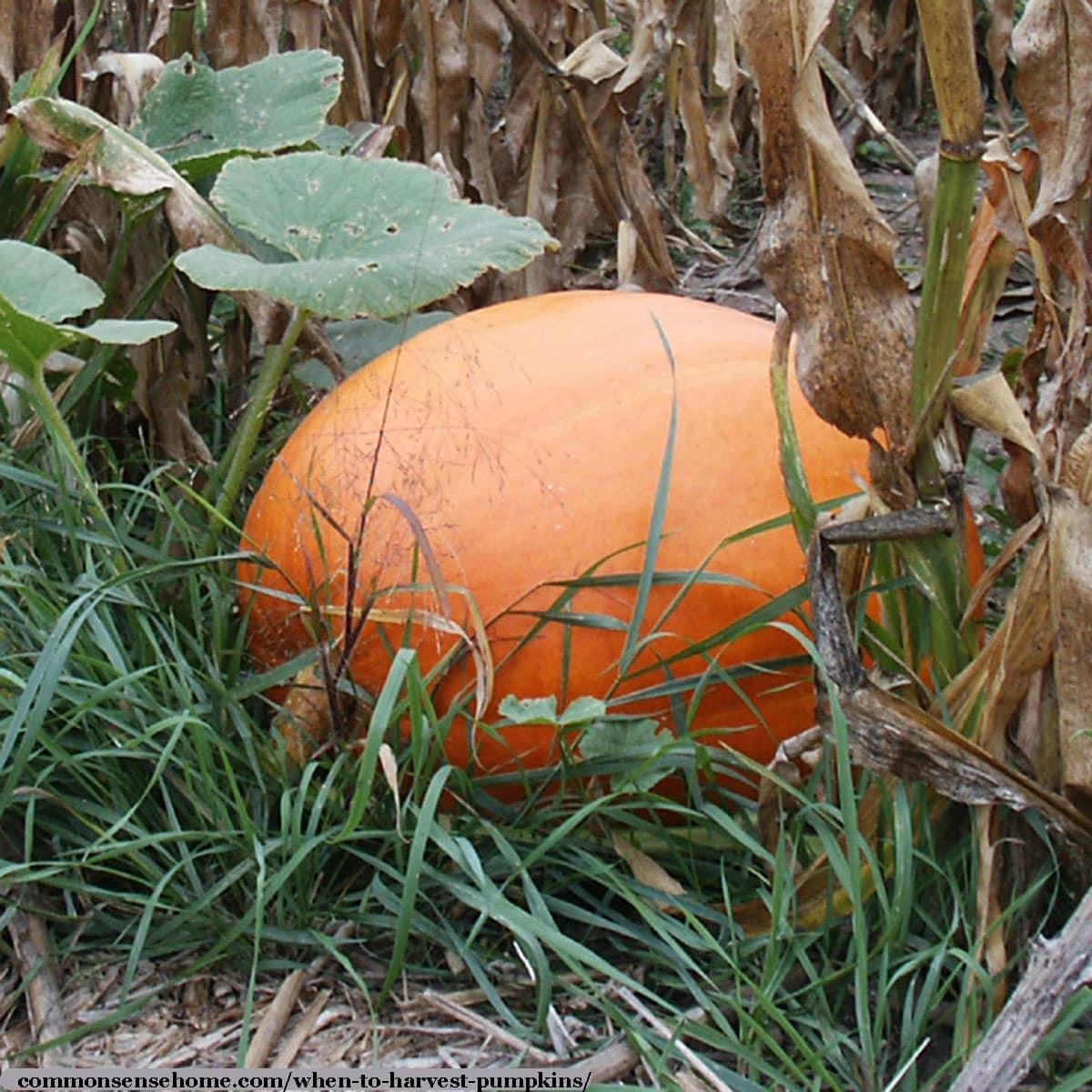 mature pumpkin