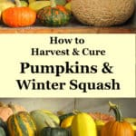 how to harvest and cure pumpkins and winter squash