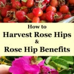 How to Harvest Rose Hips & Rose Hip Benefits
