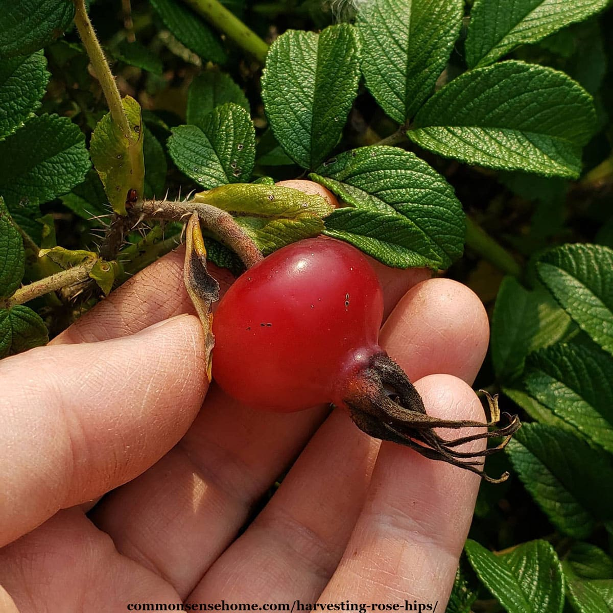 rugosa rose hip