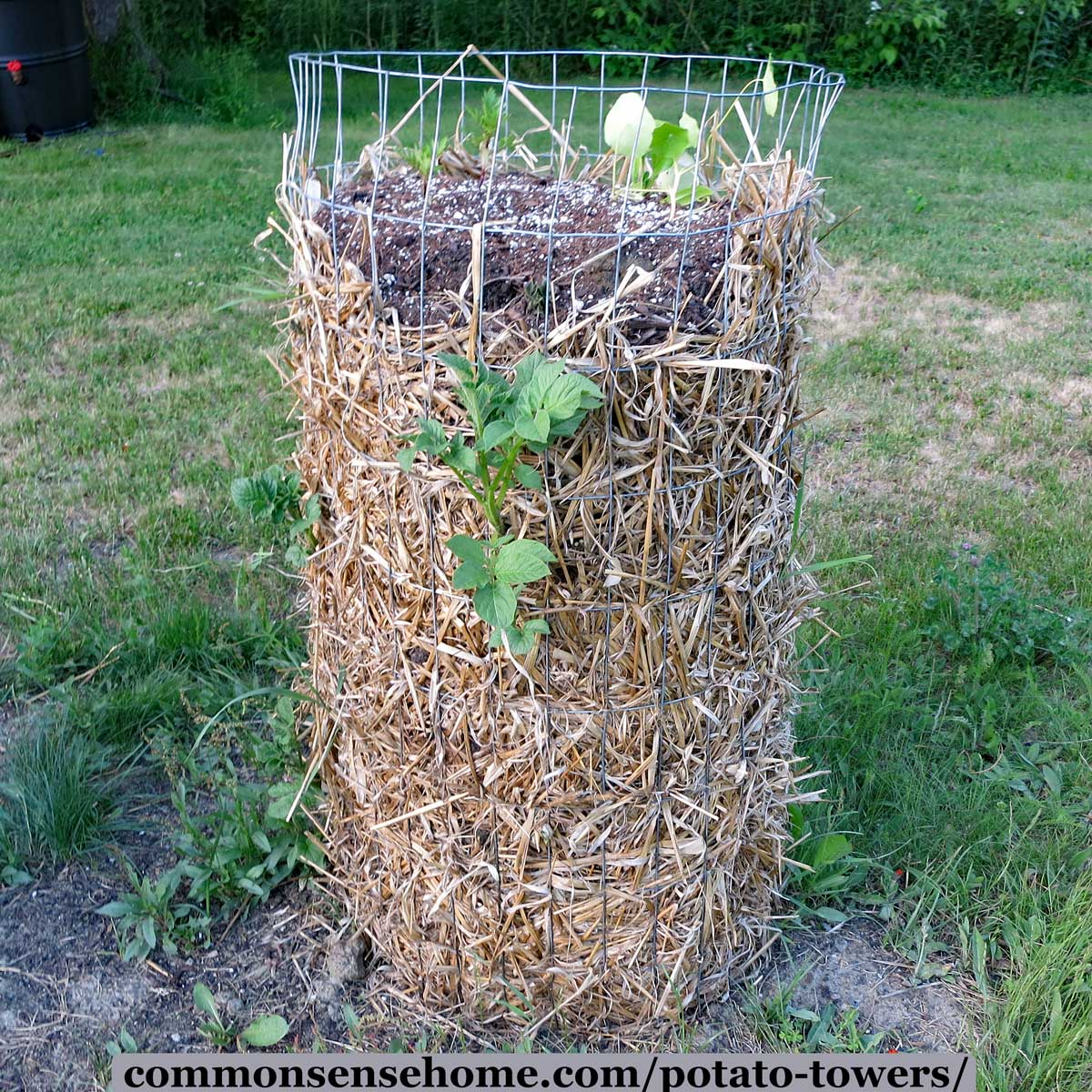 wire potato tower filled with straw, dirt, and potato starts