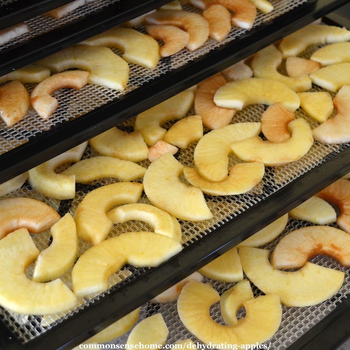 apples loaded on dehydrator trays