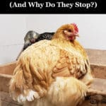 When Do Chickens Start Laying Eggs? (And Why Do They Stop)