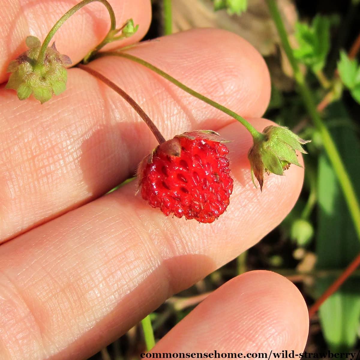 ripe Fragaria virginiana fruit