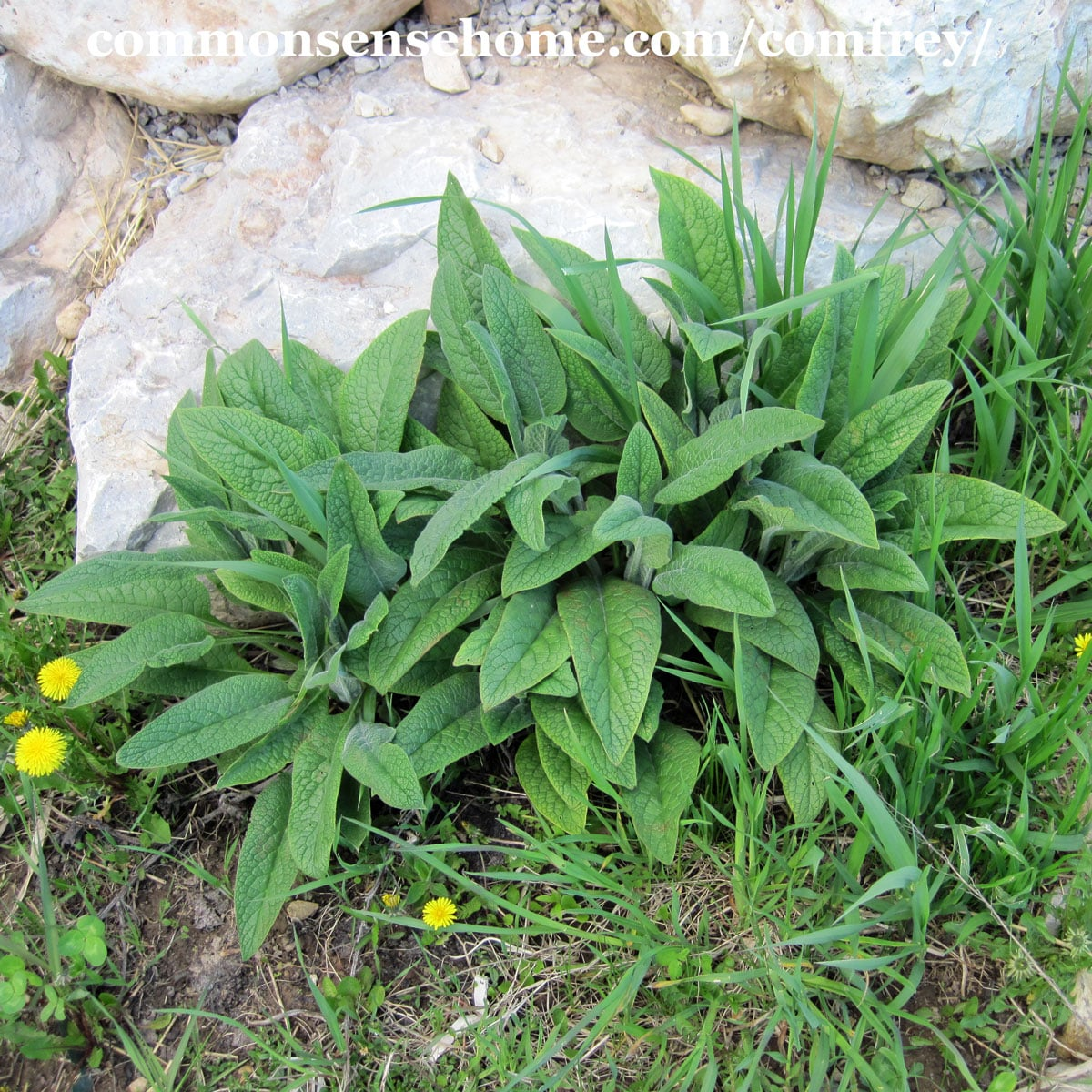 comfrey plant growing at base of rocks